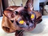 Кошки, котята Бурма, цена 9000 Грн., Фото