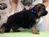Собаки, щенки Немецкая овчарка, цена 8000 Грн., Фото