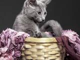 Кошки, котята Русская голубая, цена 11250 Грн., Фото