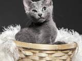 Кішки, кошенята Російська блакитна, ціна 11250 Грн., Фото