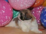 Собаки, щенки Ши-тцу, цена 4700 Грн., Фото