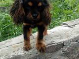 Собаки, щенята Кавалер-кинг-чарльз спаніель, ціна 6000 Грн., Фото