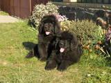 Собаки, щенки Ньюфаундленд, цена 12500 Грн., Фото