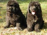 Собаки, щенята Ньюфаундленд, ціна 12500 Грн., Фото