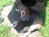 Собаки, щенята Естонський гончак, ціна 400 Грн., Фото