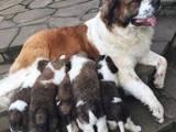 Собаки, щенки Московская сторожевая, цена 6500 Грн., Фото