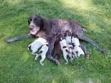 Собаки, щенки Немецкая гладкошерстная легавая, цена 1200 Грн., Фото