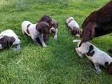 Собаки, щенята Німецька гладкошерста лягава, ціна 1200 Грн., Фото