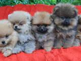 Собаки, щенки Померанский шпиц, цена 18000 Грн., Фото