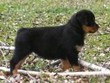 Собаки, щенята Ротвейлер, ціна 2900 Грн., Фото