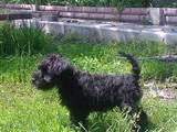 Собаки, щенята Цвергшнауцер, ціна 3500 Грн., Фото