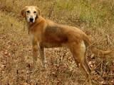 Собаки, щенки Бигль, цена 1500 Грн., Фото