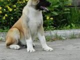 Собаки, щенки Американский акита, цена 12000 Грн., Фото