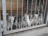 Собаки, щенки Западно-Сибирская лайка, цена 900 Грн., Фото