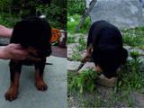 Собаки, щенки Ротвейлер, цена 6500 Грн., Фото