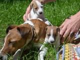 Собаки, щенята Джек Рассел тер'єр, ціна 6500 Грн., Фото