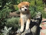 Собаки, щенки Акита-ину, цена 20000 Грн., Фото