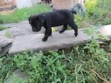 Собаки, щенята Кане Корсо, ціна 3500 Грн., Фото