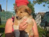Собаки, щенята Довгошерстий коллі, ціна 2400 Грн., Фото