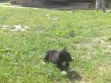 Собаки, щенята Російсько-Європейська лайка, ціна 1300 Грн., Фото