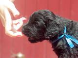 Собаки, щенята Чорний тер'єр, ціна 12.50 Грн., Фото