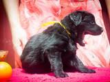 Собаки, щенки Черный терьер, цена 12.50 Грн., Фото