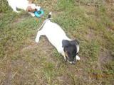 Собаки, щенки Джек Рассел терьер, цена 2100 Грн., Фото