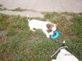 Собаки, щенята Джек Рассел тер'єр, ціна 2100 Грн., Фото