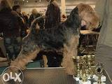 Собаки, щенки Вельштерьер, цена 7000 Грн., Фото