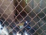 Собаки, щенята Російсько-Європейська лайка, ціна 500 Грн., Фото
