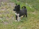 Собаки, щенята Російсько-Європейська лайка, ціна 300 Грн., Фото