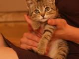 Кішки, кошенята Безпорідна, ціна 1 Грн., Фото