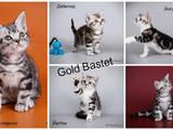 Кошки, котята Американская короткошерстная, цена 100 Грн., Фото