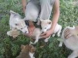 Собаки, щенята Західно-Сибірська лайка, ціна 800 Грн., Фото