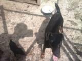 Собаки, щенята Ягдтер'єр, ціна 700 Грн., Фото