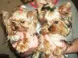 Собаки, щенки Йоркширский терьер, цена 1800 Грн., Фото