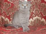 Кішки, кошенята Шотландська короткошерста, ціна 800 Грн., Фото