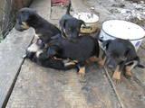 Собаки, щенки Ягдтерьер, цена 400 Грн., Фото