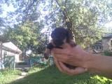 Собаки, щенята Ягдтер'єр, ціна 800 Грн., Фото