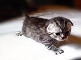 Кошки, котята Шотландская вислоухая, цена 850 Грн., Фото
