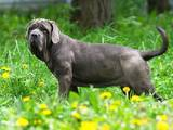 Собаки, щенята Мастіно неаполетано, ціна 42000 Грн., Фото