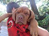 Собаки, щенята Бордоський дог, ціна 3500 Грн., Фото
