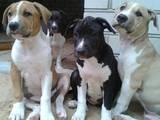 Собаки, щенята Американський стаффордширський тер'єр, ціна 8000 Грн., Фото