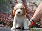 Собаки, щенки Бигль, цена 12500 Грн., Фото