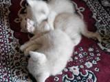 Кішки, кошенята Британська короткошерста, ціна 200 Грн., Фото