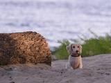 Собаки, щенята Довгошерста мініатюрна такса, ціна 20000 Грн., Фото