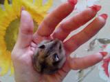 Гризуни Хом'яки, ціна 30 Грн., Фото