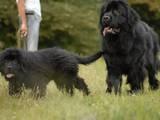 Собаки, щенята Ньюфаундленд, ціна 10000 Грн., Фото