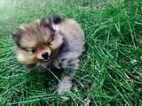Собаки, щенки Померанский шпиц, цена 7000 Грн., Фото