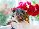 Собаки, щенята Йоркширський тер'єр, ціна 5300 Грн., Фото